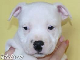 Stafordšírský bulteriér (Staffordshire Bull Terrier)  , Zvieratá, Psy  | Tetaberta.sk - bazár, inzercia zadarmo