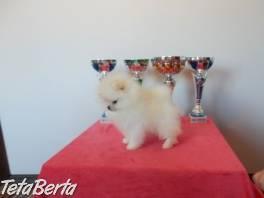 Pomeranian štěňata , Zvieratá, Psy  | Tetaberta.sk - bazár, inzercia zadarmo