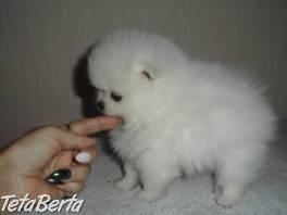 Pomeranian s PP , Zvieratá, Psy  | Tetaberta.sk - bazár, inzercia zadarmo