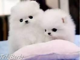 Úžasné šteniatka špicia , Zvieratá, Psy  | Tetaberta.sk - bazár, inzercia zadarmo