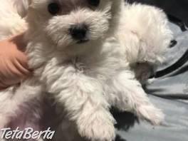 Dostupné úžasné maltské šteniatka , Zvieratá, Psy  | Tetaberta.sk - bazár, inzercia zadarmo