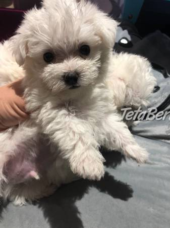 Dostupné úžasné maltské šteniatka, foto 1 Zvieratá, Psy | Tetaberta.sk - bazár, inzercia zadarmo