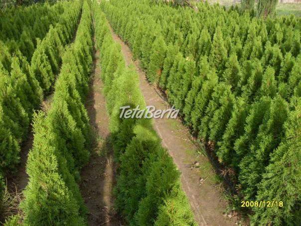 Thuje smaragd., foto 1 Dom a záhrada, Zo záhradky | Tetaberta.sk - bazár, inzercia zadarmo