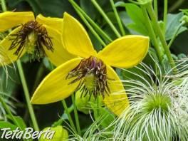Žltý clematis (plamienok) , Dom a záhrada, Zo záhradky  | Tetaberta.sk - bazár, inzercia zadarmo
