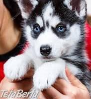 Husky šteňatá , Zvieratá, Psy  | Tetaberta.sk - bazár, inzercia zadarmo