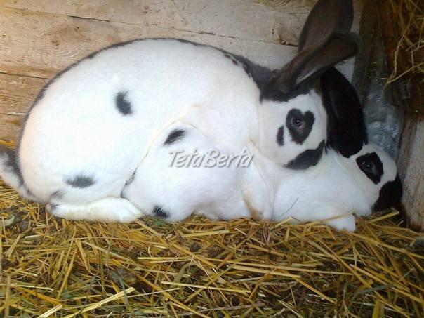 a9f571f26 Pripustené samice na predaj a samice s mladými, foto 1 Zvieratá, Hospodárske  zvieratá