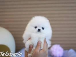 Pomeranian šteniatka , Zvieratá, Psy  | Tetaberta.sk - bazár, inzercia zadarmo