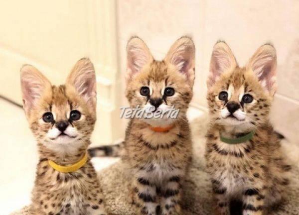 F1 mačiatka Savannah na adopciu. , foto 1 Zvieratá, Mačky   Tetaberta.sk - bazár, inzercia zadarmo