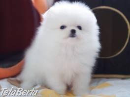 Šálka čaju Pomeranian Puppies , Zvieratá, Psy  | Tetaberta.sk - bazár, inzercia zadarmo