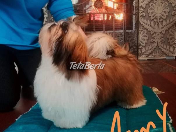 SHIHTZU šteňata, foto 1 Zvieratá, Straty a nálezy | Tetaberta.sk - bazár, inzercia zadarmo