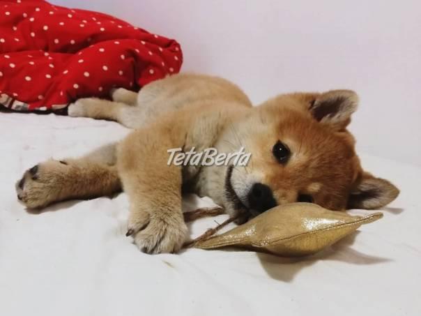 Shiba inu , foto 1 Zvieratá, Psy | Tetaberta.sk - bazár, inzercia zadarmo