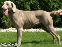 Ponúkam rezerváciu šteniatka weimarského stavača , Zvieratá, Psy  | Tetaberta.sk - bazár, inzercia zadarmo