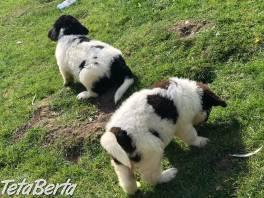 Krásné štěně Newfoundland Kc , Zvieratá, Psy  | Tetaberta.sk - bazár, inzercia zadarmo