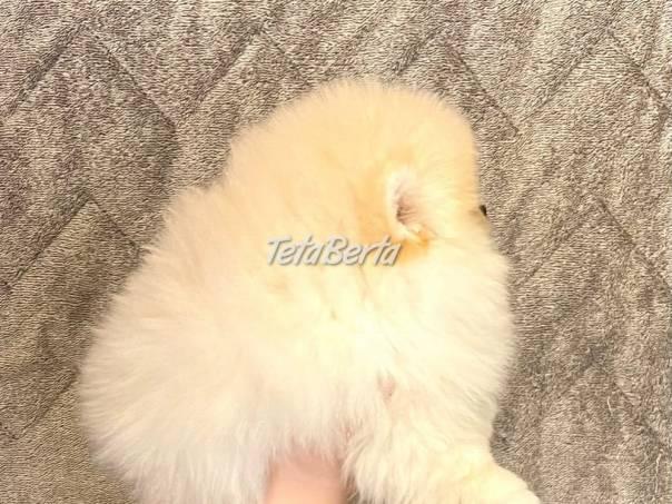 Pomeranian Spic, foto 1 Zvieratá, Psy   Tetaberta.sk - bazár, inzercia zadarmo