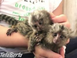 Opice MARMOSET pre adopciu. , Zvieratá, Ostatné  | Tetaberta.sk - bazár, inzercia zadarmo