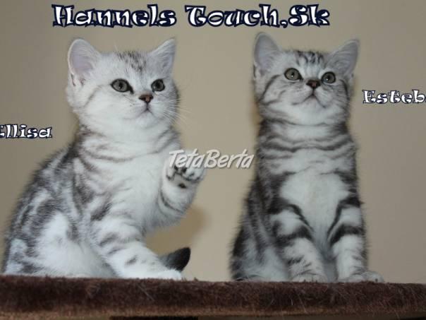 Britské mačiatka-Britská mačka Whiskas s PP 273b70d6546