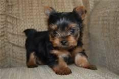 šteniatka pre jorkšírske a mužské psy na adopciu, foto 1 Zvieratá, Psy   Tetaberta.sk - bazár, inzercia zadarmo