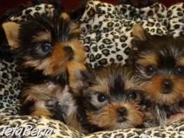 Registrované šteniatka Yorkie pre adopciu , Zvieratá, Psy  | Tetaberta.sk - bazár, inzercia zadarmo