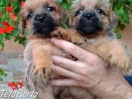 Norfolk Terrier , Zvieratá, Psy    Tetaberta.sk - bazár, inzercia zadarmo
