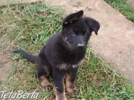 Šteniatko nemeckého ovčiaka , Zvieratá, Psy  | Tetaberta.sk - bazár, inzercia zadarmo