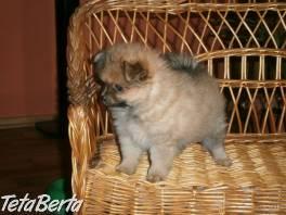 Pomeranian šteniatka pre nový domov a806e9be1dd