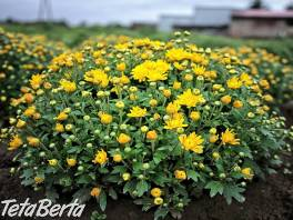 Chryzantémy veľa možností nízke ceny veľkoobchodný , Dom a záhrada, Zo záhradky  | Tetaberta.sk - bazár, inzercia zadarmo