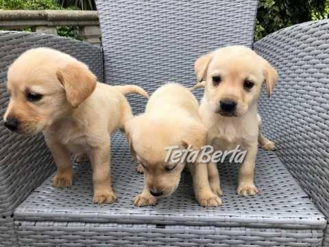 Nádherne vyzerajúce šteniatka labradora, foto 1 Zvieratá, Psy   Tetaberta.sk - bazár, inzercia zadarmo