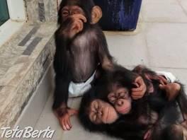rozkošný baby šimpanz pre prijatie , Zvieratá, Ostatné  | Tetaberta.sk - bazár, inzercia zadarmo