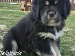 Tibetská doga - šteniatka k odberu po 15.11.2020 , Zvieratá, Psy  | Tetaberta.sk - bazár, inzercia zadarmo