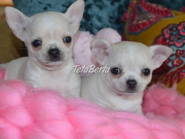 Krásná štěňata čivavy, foto 1 Zvieratá, Psy   Tetaberta.sk - bazár, inzercia zadarmo