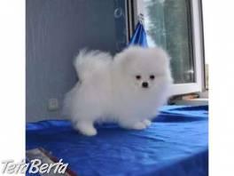 Pomeranian na predaj , Zvieratá, Psy    Tetaberta.sk - bazár, inzercia zadarmo