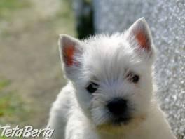 Šteniatka West Highland White Terrier , Zvieratá, Psy  | Tetaberta.sk - bazár, inzercia zadarmo