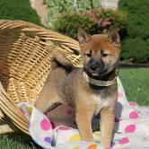 Shiba inu , Zvieratá, Psy  | Tetaberta.sk - bazár, inzercia zadarmo