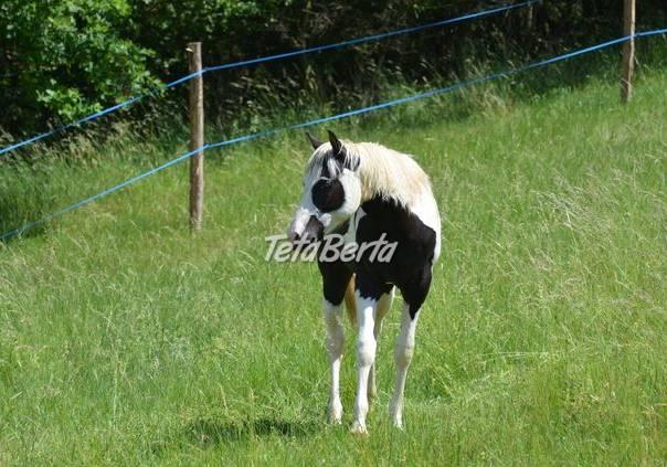 Prodám APH hřebce, foto 1 Zvieratá, Hospodárske zvieratá | Tetaberta.sk - bazár, inzercia zadarmo