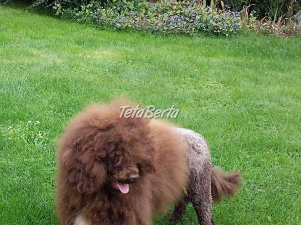 Portugalský vodný pes - vek 15 mesiacov f9f0e448492