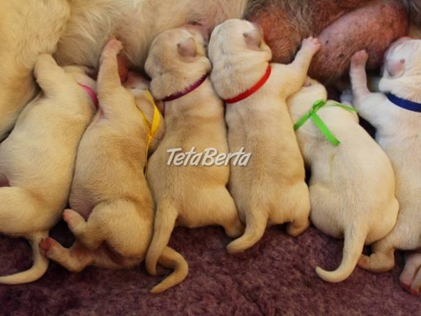 Labrador retriever - šteniatka s rodokmeňom s PP, foto 1 Zvieratá, Psy | Tetaberta.sk - bazár, inzercia zadarmo