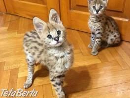 K dispozícii sú dobre socializované mačiatka F1 a F2 Savannah  , Zvieratá, Mačky  | Tetaberta.sk - bazár, inzercia zadarmo