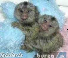 Baby capuchin opice na prijatie , Zvieratá, Psy    Tetaberta.sk - bazár, inzercia zadarmo
