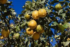 Predaj citrusov, foto 1 Dom a záhrada, Zo záhradky | Tetaberta.sk - bazár, inzercia zadarmo