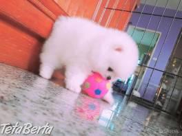 sladké Pomeranian šteniatka na predaj 61776e2519f
