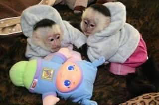 kvalitné opice capuchin opice pre starostlivosť o rodiny, foto 1 Zvieratá, Ostatné | Tetaberta.sk - bazár, inzercia zadarmo
