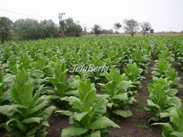 Virginia , Havana tabak, semená výsev  priesady, foto 1 Dom a záhrada, Zo záhradky | Tetaberta.sk - bazár, inzercia zadarmo