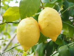 Citrusy pre vás , Dom a záhrada, Zo záhradky    Tetaberta.sk - bazár, inzercia zadarmo