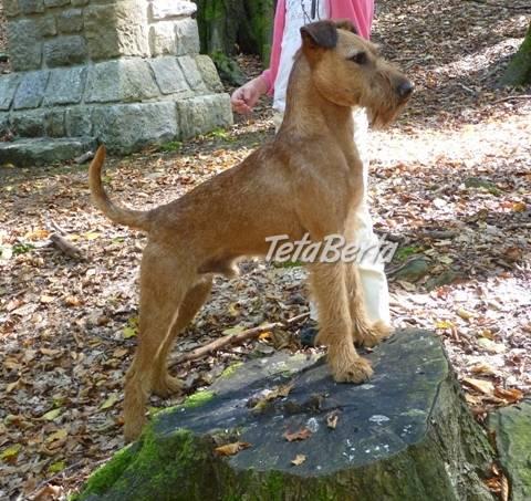 Irský teriér - štěňata s PP, foto 1 Zvieratá, Psy | Tetaberta.sk - bazár, inzercia zadarmo