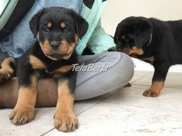 Robustné mláďatá rotvajlera od skvelých , foto 1 Zvieratá, Psy | Tetaberta.sk - bazár, inzercia zadarmo
