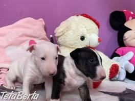 Miniatúrne šteniatka bulteriéra , Zvieratá, Psy    Tetaberta.sk - bazár, inzercia zadarmo