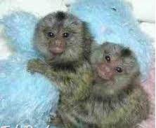 capuchin opice na predaj , Zvieratá, Ostatné  | Tetaberta.sk - bazár, inzercia zadarmo