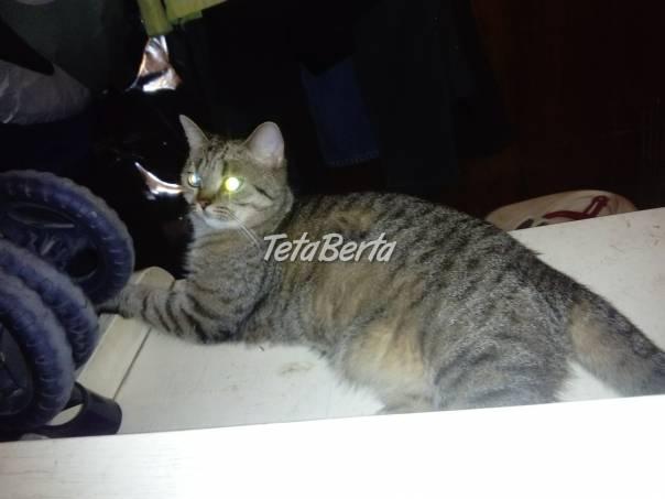 Britský kocúrik s PP , foto 1 Zvieratá, Mačky   Tetaberta.sk - bazár, inzercia zadarmo