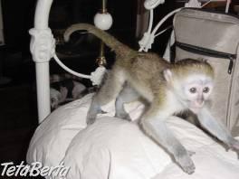 capuchin na prijatie. , Zvieratá, Straty a nálezy  | Tetaberta.sk - bazár, inzercia zadarmo