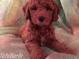 Úžasne vyzerajúce šteniatka pudlíkov , Zvieratá, Psy  | Tetaberta.sk - bazár, inzercia zadarmo